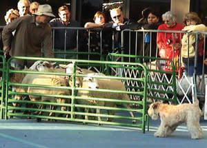 Special Wheaten appearance at the AKC/Eukanuba Herding Demo, Long Beach, CA, December 1-2, 2007 In addition to 11 dogs among the AKC-approved herding breeds, Ch.