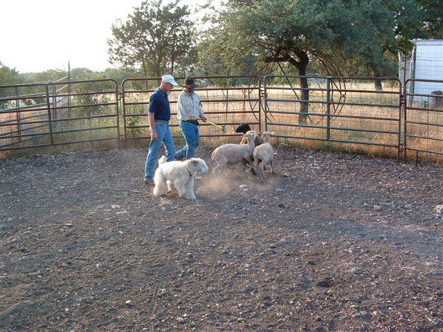 Bob Johnson did a great deal of herding training at the Raspberry Ridge Sheep Farm with his Irish coated Wheaten, Bridget. Dr.