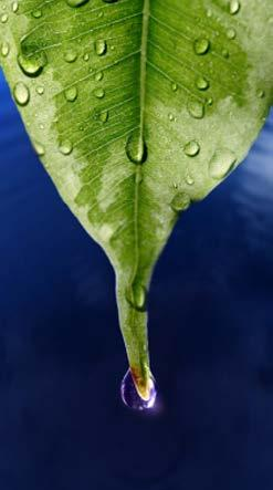 Rainforests get about 200 centimeters (80 in.) of rain every year. To deal with this heavy rain, some plants have leaf shapes that let rain roll off easily.