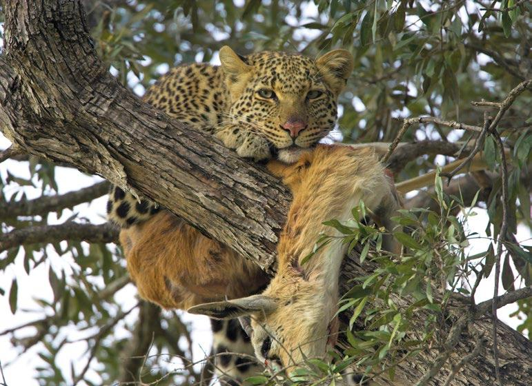 For teachers' The leopard is a carnivore and is nocturnal, hunting mostly at