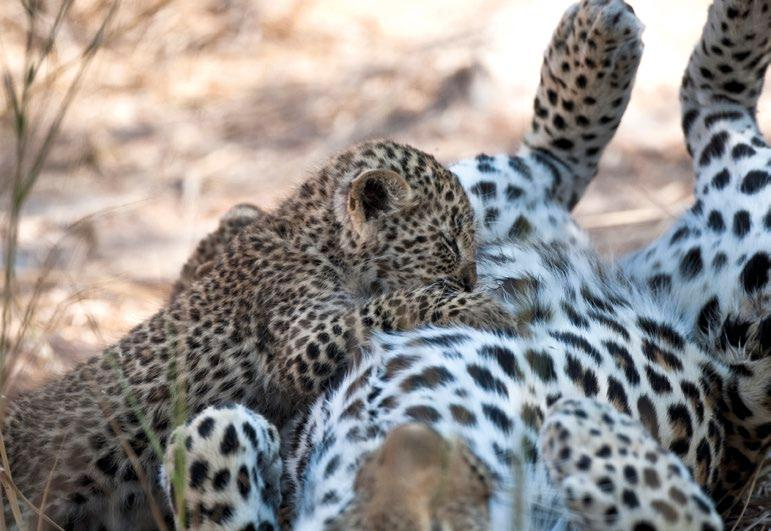 For teachers' Leopards, like humans, are mammals. Mammals have hair or fur, are warm-blooded, and feed their young with milk. Almost all mammals give birth to live young.