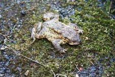 Don t our toads have a rough time these days climate change, new roads, disease!