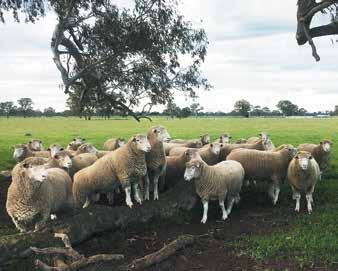 We feel the quality of the sheep is exceptionally good, due to the better seasons during their lifetime, plus less competition for available paddock feed with the mature ewes having being sold.