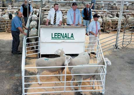 They held the 1st stage dispersal of their long established Leenala Poll Dorset stud at the Naracoorte Showgrounds with the offering of 294 mixed age ewes, producing a very good and rewarding result,