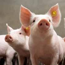 Examples are BSE, bovine tuberculosis, brucellosis, foot and mouth disease, classical swine fever and highly pathogenic avian influenza. Worldwide only one animal disease is eradicated: rinderpest.