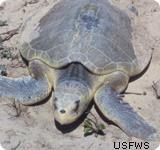 Oil Spill Impacts on Sea Turtles which were the Kemp s ridleys.