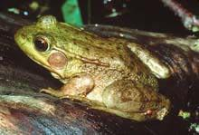 Green Frog (Rana clamitans) Size: 2.4 to 3.5 in. Description: Green frogs have a light to dark olive green or brown background color with small, irregular dark brown spots.