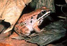 Wood Frog (Rana sylvatica) Size: 1.5 to 2.5 in.