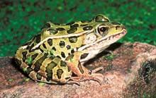 Northern Leopard Frog (Rana pipiens) Size: 2.0 to 3.5 in.