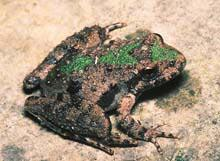 Northern Cricket Frog (Acris crepitans) Species Overview Northern cricket frog (Acris crepitans), an endangered species in Wisconsin, prefer ponds, lakes, and a variety of habitats along and adjacent