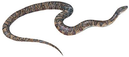 crescents; Head: oval head; Eyes: rounded pupils; The northern water snake will quickly flee Scales: keeled; anal scale divided; into water when