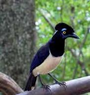 quality of veterinary education, may have a positive effect on the quality of veterinary education in a country; Plush-crested jay. M.Minassian 5.