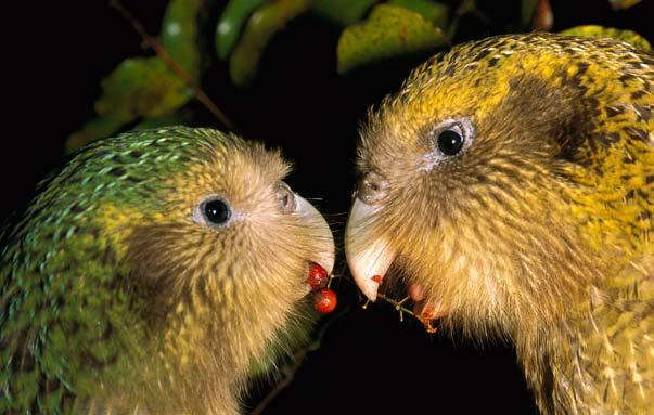 Then, in 1974, a few males were found. But because there were no females to lay eggs, kakapos would become extinct once the males died. A pair of kakapos share food.