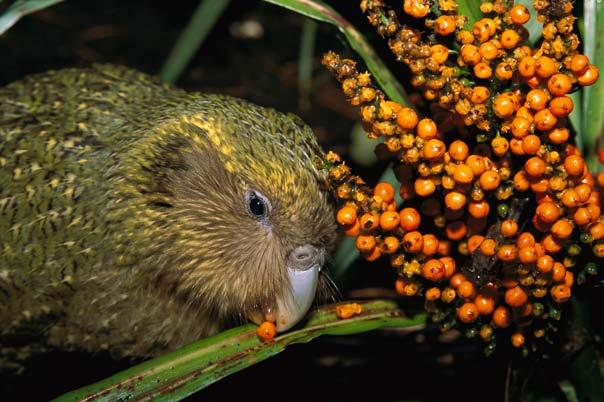 The kakapos had never seen these animals, so they didn t know how to defend themselves. And they couldn t fly to escape. The predators killed so many birds that by the 1950s, the kakapo disappeared.