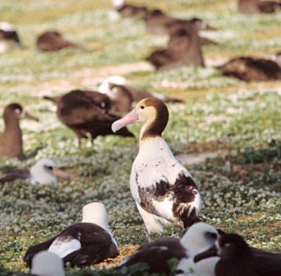 Short-tailed albatross The Short-Tailed Albatross There were once millions of shorttailed