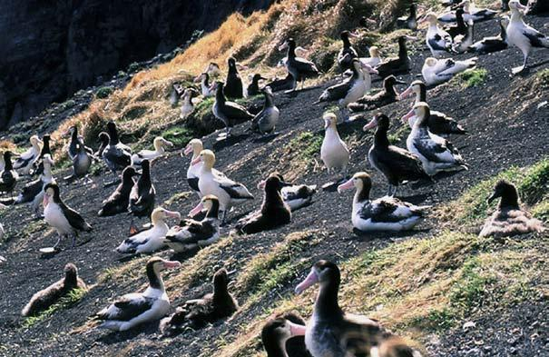 Years after the last albatross was seen, a few were spotted nesting on a volcanic island. These albatrosses had been at sea while the others were killed.