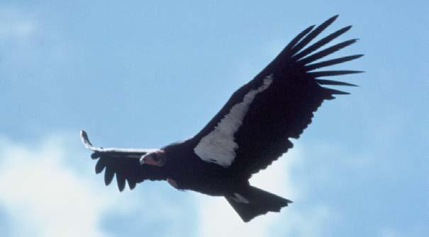 The volcanic island might erupt, killing the last short-tailed albatrosses. California condor in flight The California Condor The California condor is the largest flying bird in North America.