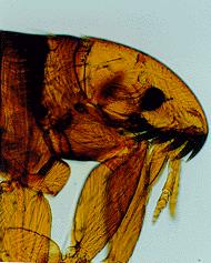 Aetiology Only two families contain species of veterinary importance: the Ceratophyllidae and the Pulicidae.