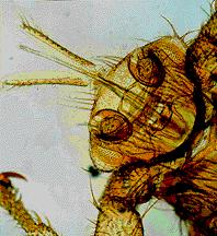Fly infestation and Myiasis Myiasis is the infestation of tissue with fly larvae,