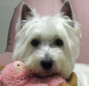 YEAR 2010 SOUTHEASTERN MICHIGAN WESTIE RESCUE (West Highland White Terrier Club of SE Michigan) THIS NEWSLETTER-See http://www.westie3.fatcow.com/rescue/chnewsletter10/chnewsltr10.