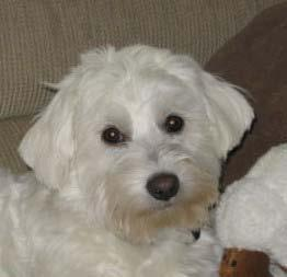 Tony/Bandit Fostered 72 days 2009/10 Tony (now Bandit), age 6 months, was a Westie/Maltese mix. Tony was found dumped in someone s backyard.