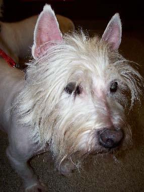 The breeder s son kept a 12-year-old female, but these three Westies made their way to us. Maggie, who was anywhere from 5 years to 9 years of age, had had CMO* as a youngster.