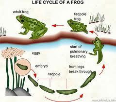 Reproduction and Development FROGS -Eggs are fertilized externally and develop in water -Larvae wriggle out of jelly that coat the eggs -TADPOLES = frog larvae -Begin a