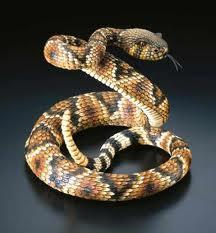 Snakes Identical skin qualities as lizards No legs, streamlined bodies,