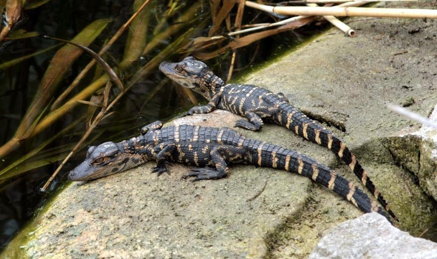 Alligator and Crocodile Reproduction Care for eggs and newly hatched young Female stays