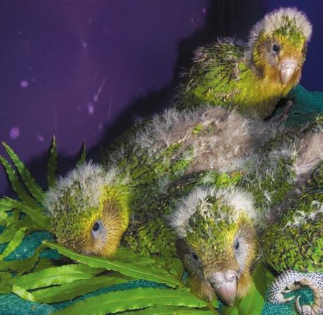Each night, when a mother kakapo sets out to find food, an alarm sounds. It wakes the nest minders.