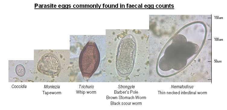 Roundworm eggs under the microscope Source: Anne Oakenful, EMAI, In Doing Faecal Worm Egg Counts NSW DPI (Profarm) Training Manual (Scale is approximate only) S Love Primary Industries, Armidale Nov