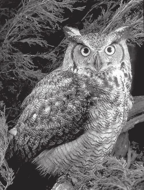 Lesson 3 Great Horned Owl Great Horned Owls Hoo, hoo-oo, hoo, hoo! A great horned owl hoots in the night. Maybe it is hunting for a rabbit to eat.