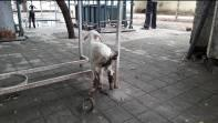 diarrhoeic goats brought to the TVCC of this institute.