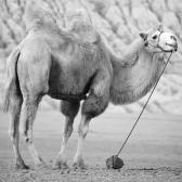 True False Don t Know 1. Camels live in hot places. 2.