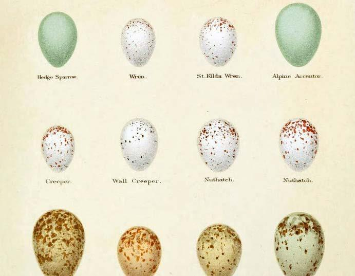 Eggs Fun Fact: In weight, one ostrich egg is equal to 4,700 eggs of the bee hummingbird. Birds begin life inside hard-shelled eggs, laid by the female.