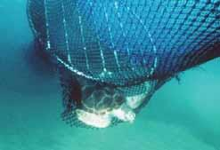 In many countries TEDs are being used to exclude turtles and other large animals from the trawl.