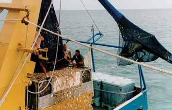 Over 14,000 kg of shrimp were caught in one day and the TED and codend remained in perfect condition. catch from surging toward the escape opening, particularly in bad weather or if hauling is slow.