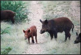 gov Introduction of Swine in Texas Drove across the Rio Grande by