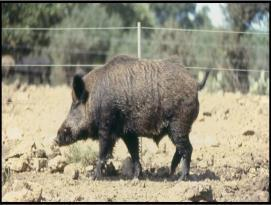 LaSalle brought swine to the Texas coast in 1685.