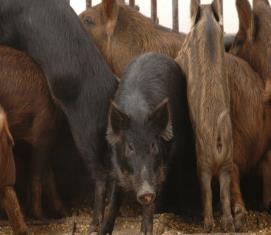 Reproduction: Sows Can have multiple litters per year