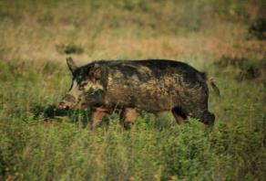 1998) Texas Feral Hog Population Reproduction: Boars Sexual