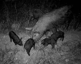 Sows create nests Piglets remain in the nest for 2 to 3 weeks Piglets are weaned
