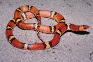CORAL SNAKE MIMICS Milk Snake Lampropeltis triangulum Range Statewide. Description Harmless. Smooth scales.