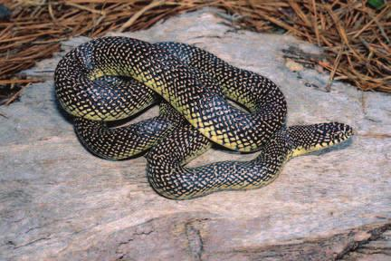 TERRESTRIAL SNAKES Coachwhip Masticophis flagellum Range Almost statewide; absent from Mississippi Delta. Description Smooth scales. A large, slender snake.