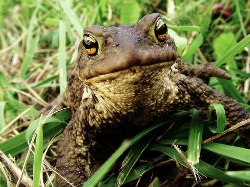 Frogs and toads are also different. Frogs have narrow bodies. Toads have wide bodies. Most frogs have smooth, wet skin.