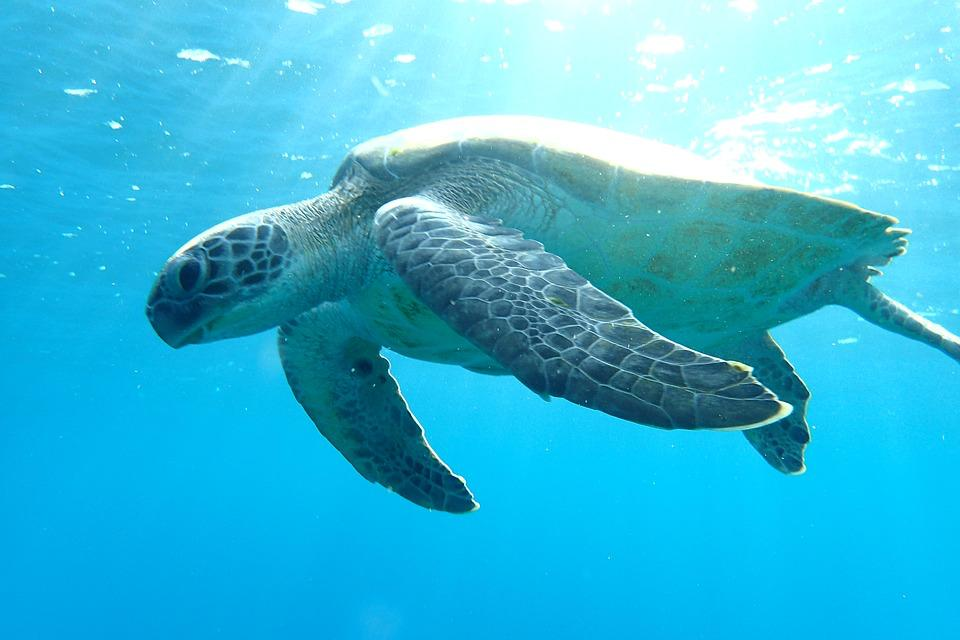 Green turtles are named because of the greenish colour of their fat, not their shells. Most green turtles are brown and black or greenish-yellow.