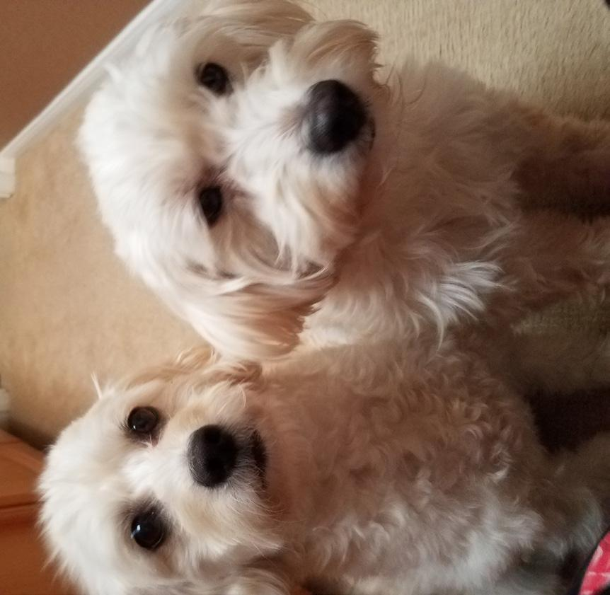 Cujo and Laci: A Great Pair by Sandi Cohn Craig and I adopted Cujo, our rescue Bichon/Jack Russell mix, in February 2015.