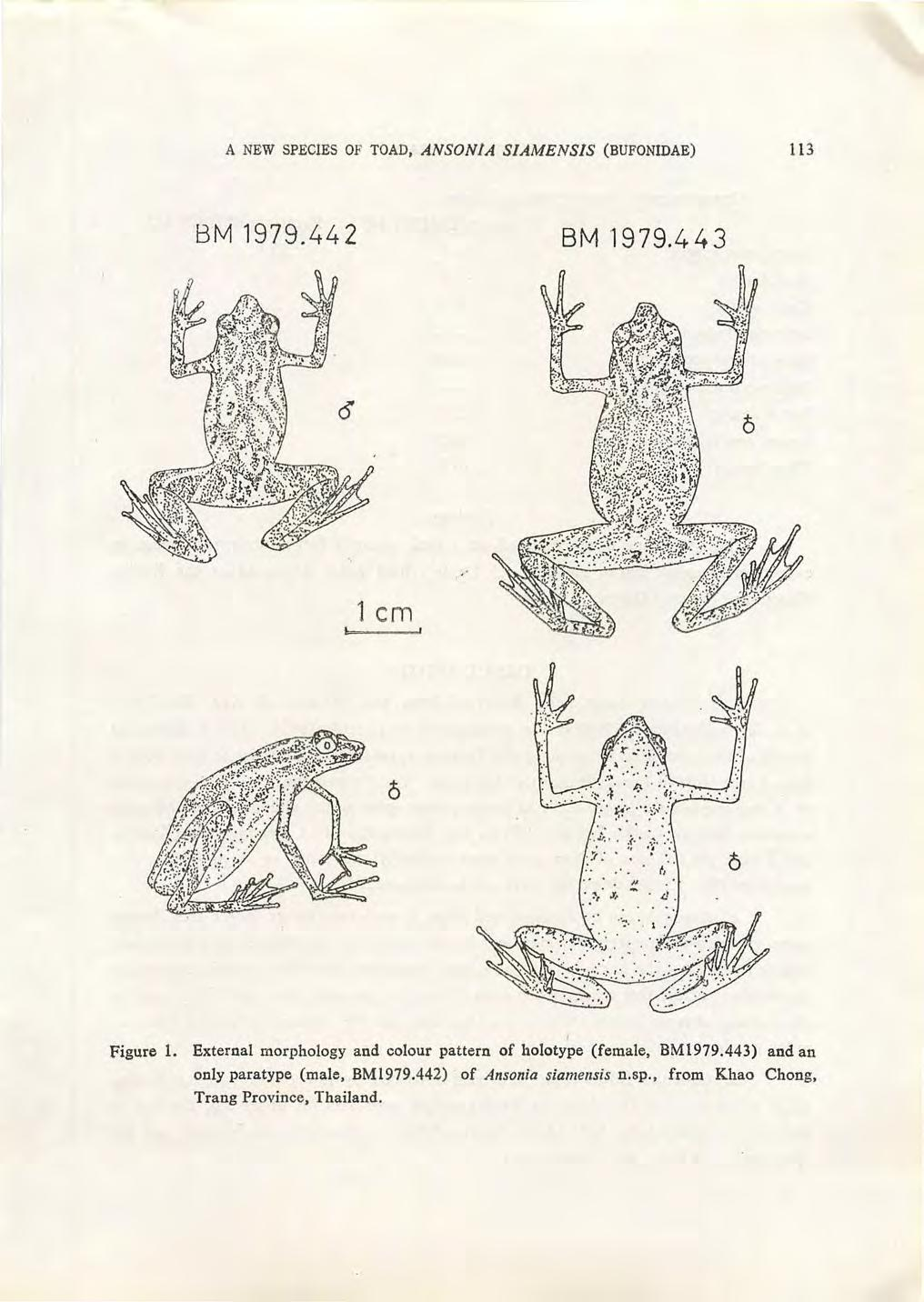 A NEW SPECIES OF TOAD, ANSONIA SIAMENSIS (BUFONIDAE) 11 3 BM 1979.442 BM '1979.443 1 em Figure 1.