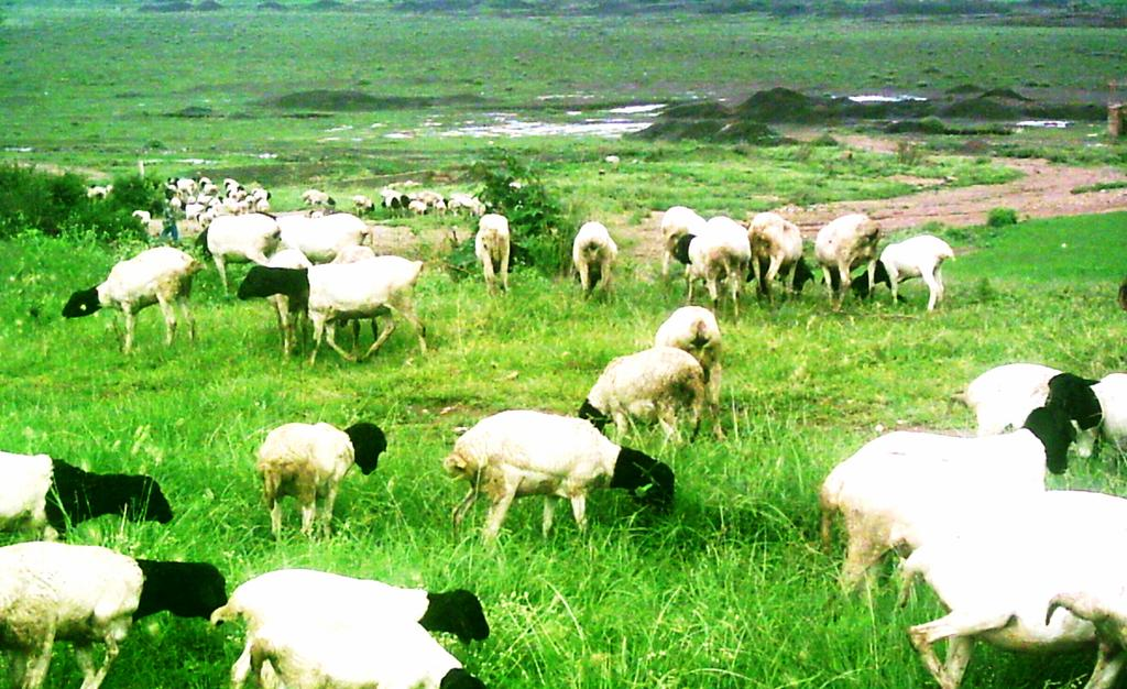 During the day, the sheep flock is herded on permanent communal grazing pasture together with animals (sheep, goats, cattle, equines and camels) owned by local small-holder farmers.