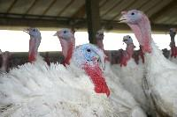 Turkey industry adapting to new Canadian demographics by Margaret Morris, Statistics Canada A male and female domestic turkey.
